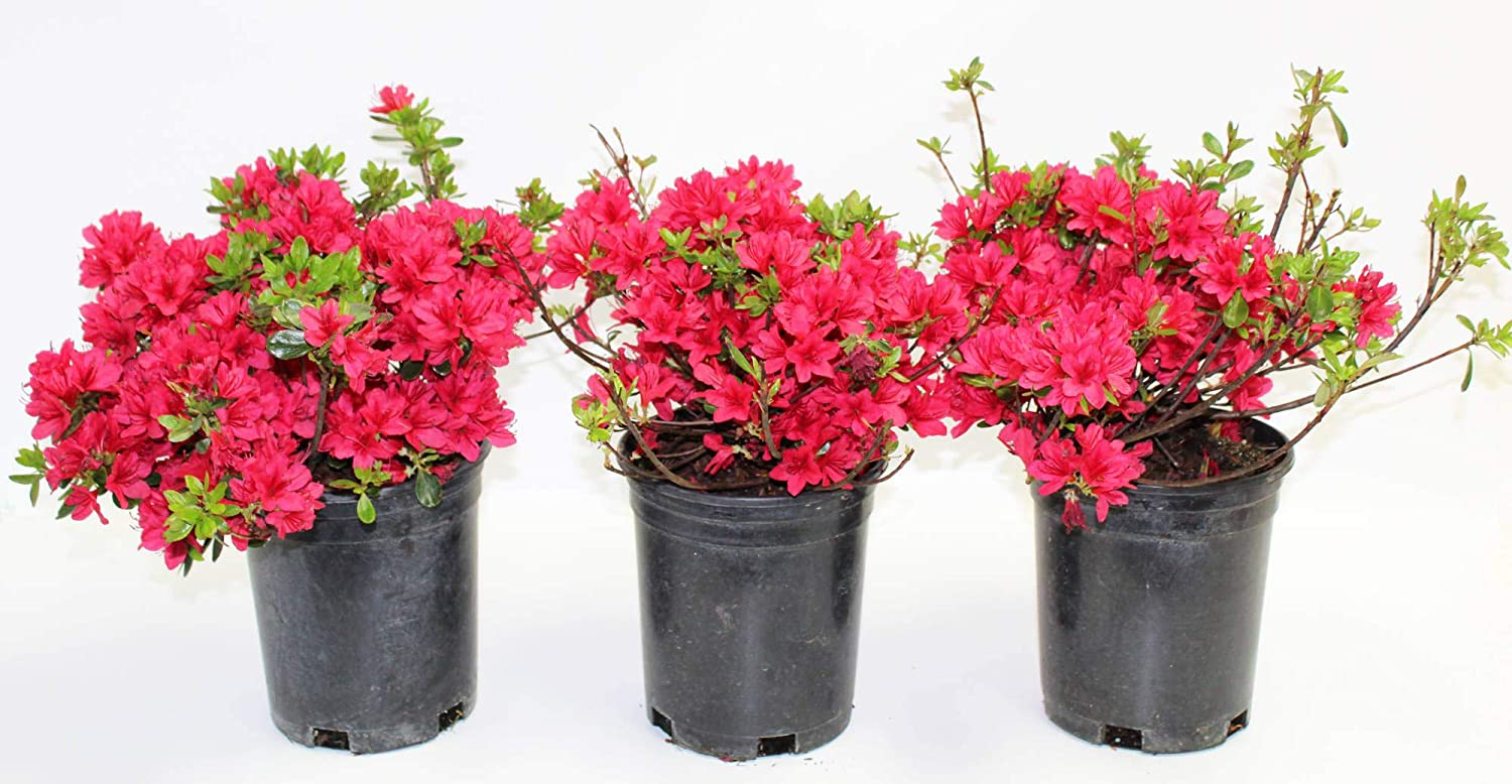 with Athenas Garden Live Hino-Crimson Azalea Plant 1G-Fully Rooted with Soil in in Grower-Included Premium Ceramic Pot