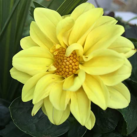 Amazon dahlia figaro yellow shades 250 seeds garden outdoor dahlia figaro yellow shades 250 seeds mightylinksfo