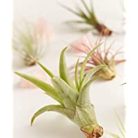 Shop Succulents Assorted Live Air Plants | Hand Selected for Health, Size | Varieties