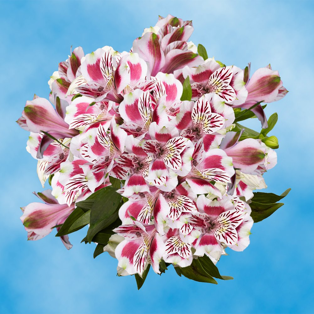 GlobalRose 60 Fresh Cut Bi-Color Alstroemerias - Peruvian Lilies - Perfect for Wedding, Birthday, Anniversary or Any Occasion