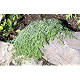 """Woolly Thyme - Great Groundcover - Live Plant - Hardy - 3"""" Pot"""