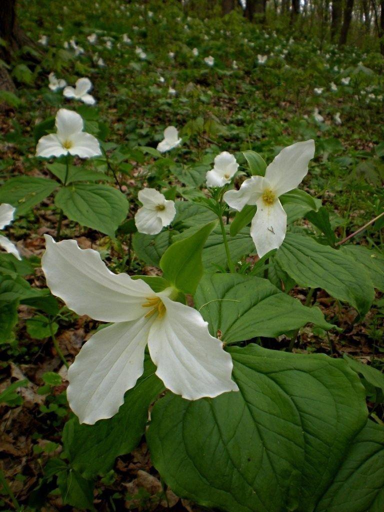 Amazon 20 White Trillium Wood Lily Bulbs Trillium