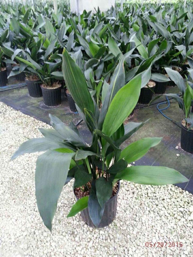 PlantVine Aspidistra elatior, Cast Iron Plant - Extra Large - 12-14 Inch Pot (7 Gallon), Live Plant