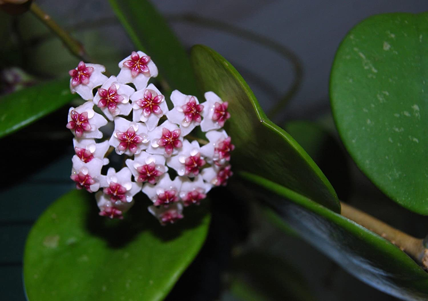 Amazoncom Hoya Obovata Rare Tropical Flowering Exotic House Wax