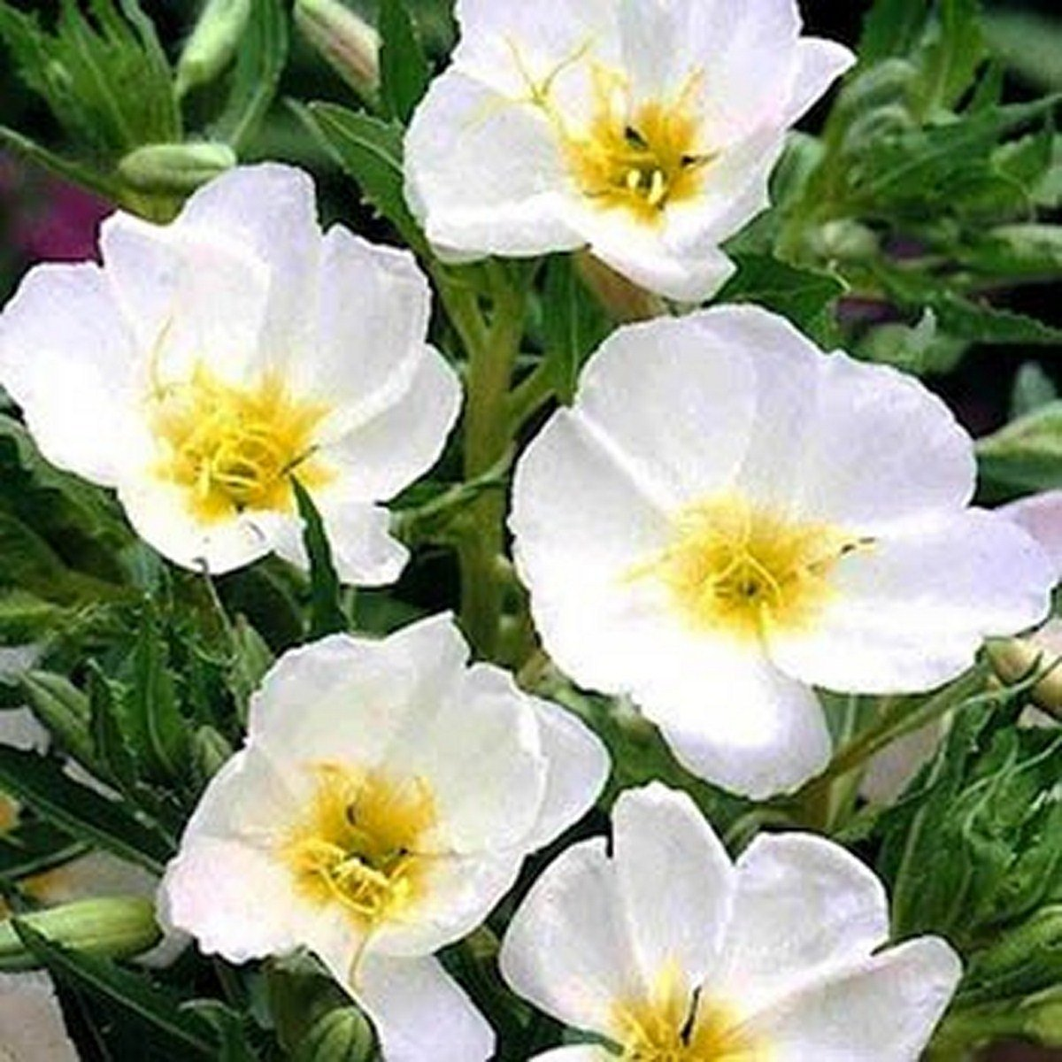 Evening Primrose- White- 200 Seeds by None (Image #1)