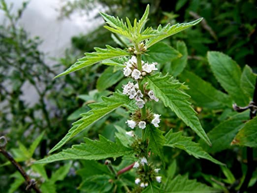 Lycopus europaeus (Gypsywort)-None-1 LTR: Amazon.co.uk: Garden ...