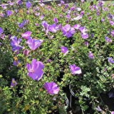 Live Lilac Hibiscus aka Alyogyne huegelii Patio Tree Plant Fit 05 Gallon Pot