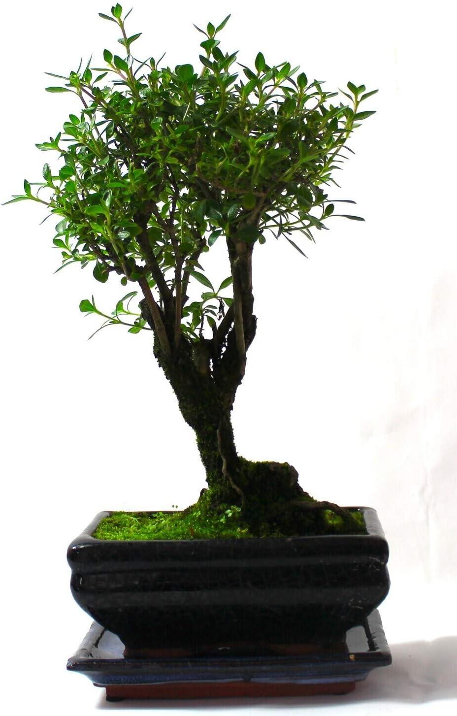 Supplied with Ceramic drip Tray Serrissa Flowering Bonsai Tree
