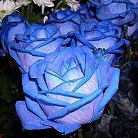 SemiRosa 50 PCS Semi di Rosa Blu Profumati Piante Semi Fiori Giardino Balcone