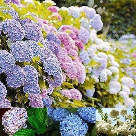 Amazon Com Canhot Garden 100 Pcs Mixed Nikko Blue Hydrangea