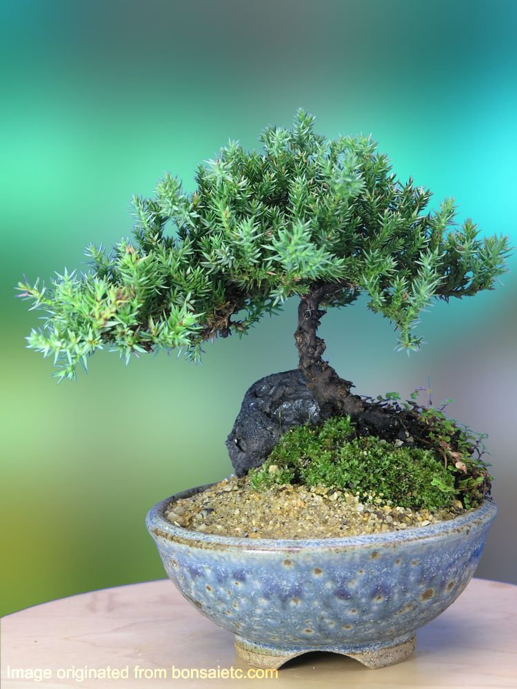 A 5+ Year Old Juniper Bonsai Tree in Japanese Setku Bowl by Nature's Highlight