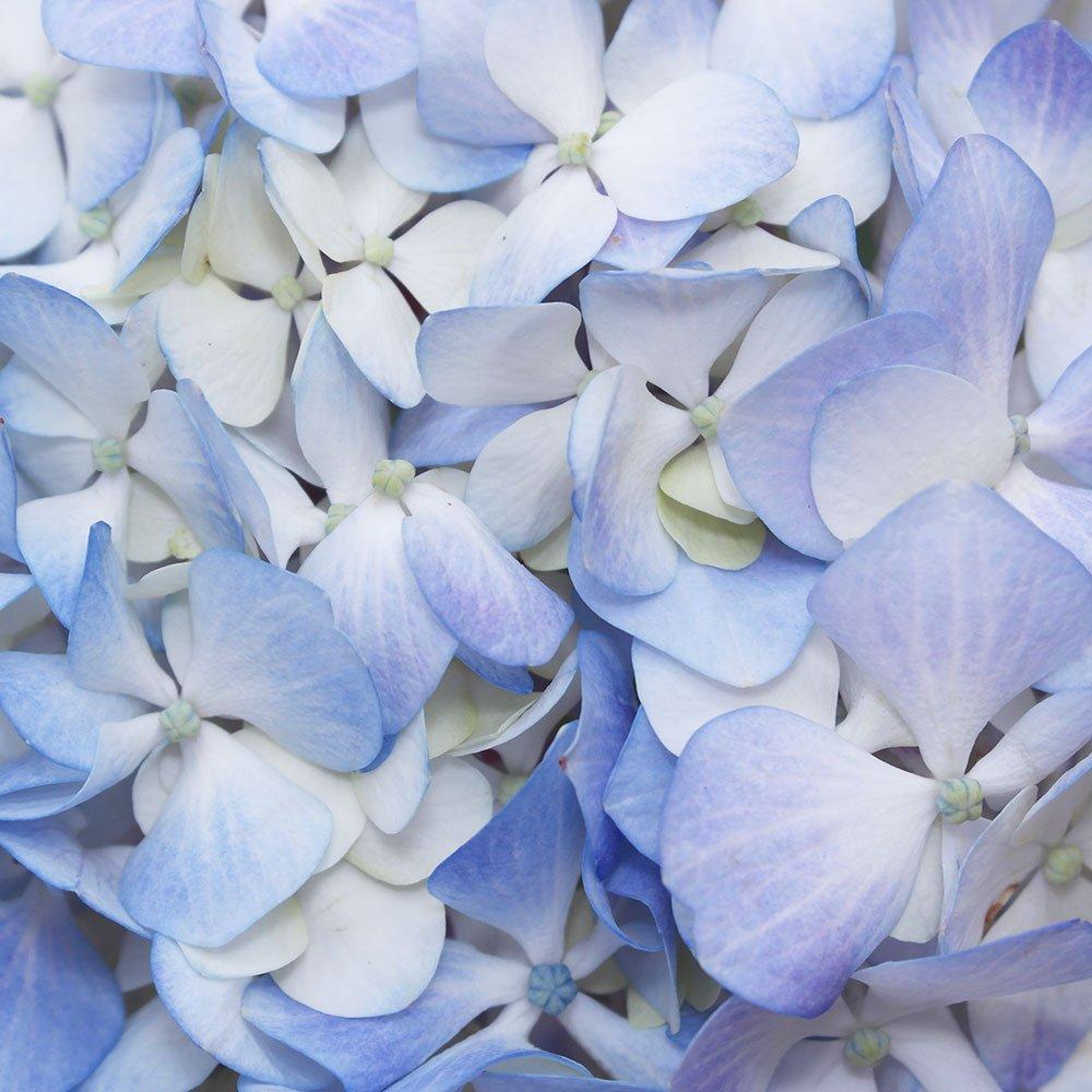 GlobalRose 40 Fresh Cut Blue Hydrangeas - Fresh Flowers For Weddings or Anniversary. by GlobalRose (Image #4)