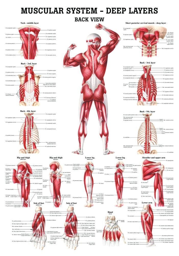 Amazon The Muscular System Deep Layers Back Laminated Anatomy