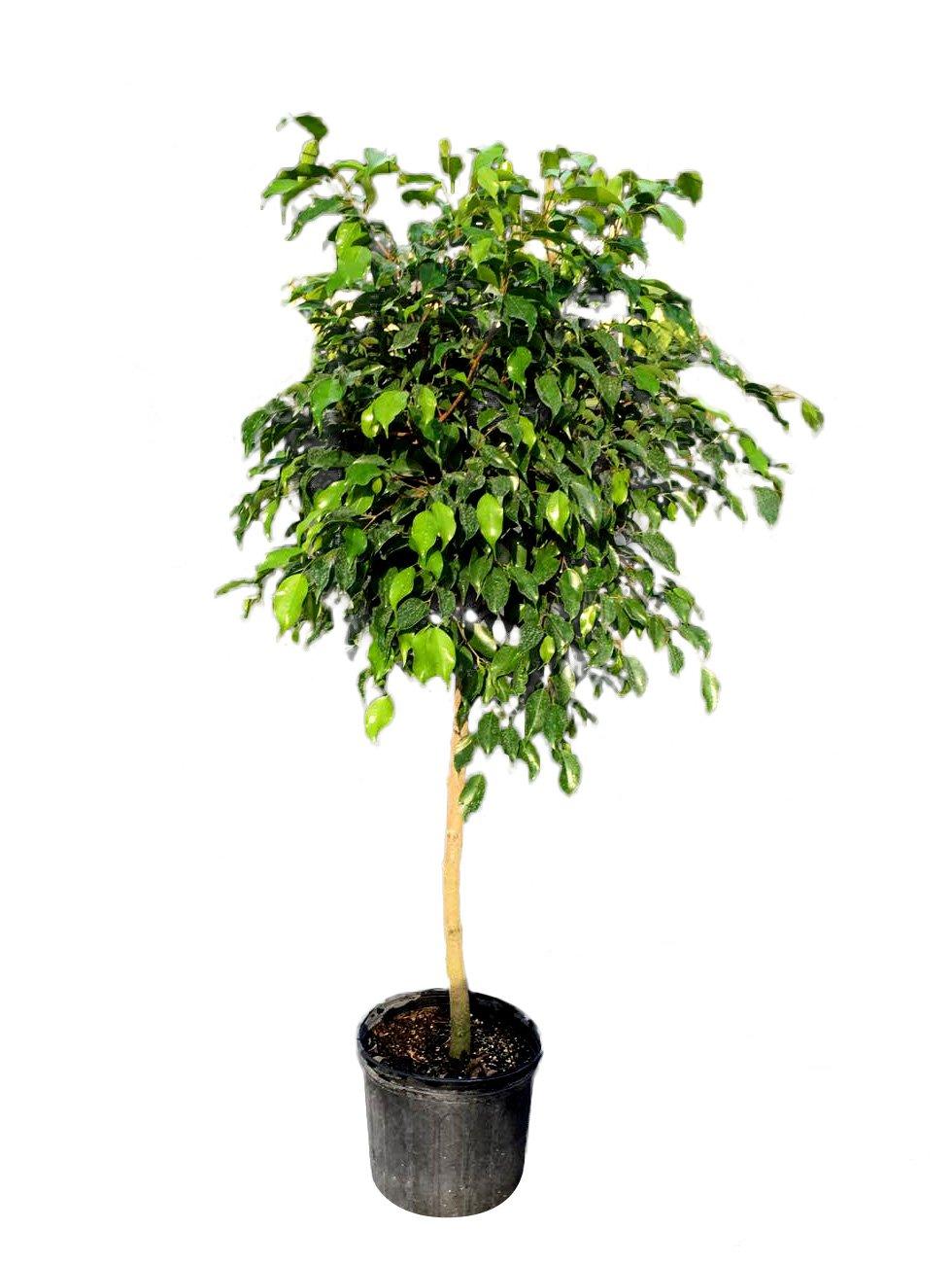Ficus benjamina 'Wintergreen', Weeping Fig - 3 Gallon Live Plant