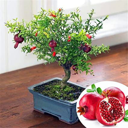 Qulista 20 Piezas Semillas de Frutas Granada Planta Árbol Secas Bonsai para Jardín Balcon Interior y