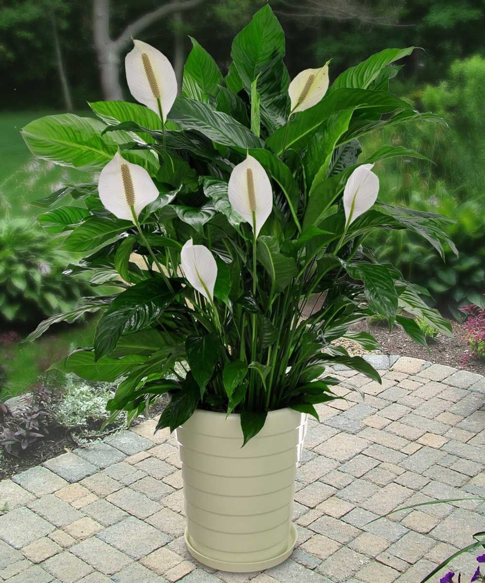Amazon Spathiphyllum Peace Lily 25 Seeds Indoor Air