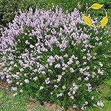 LITTLELEAF Lilac Syringa Microphylla - 25+ Seeds