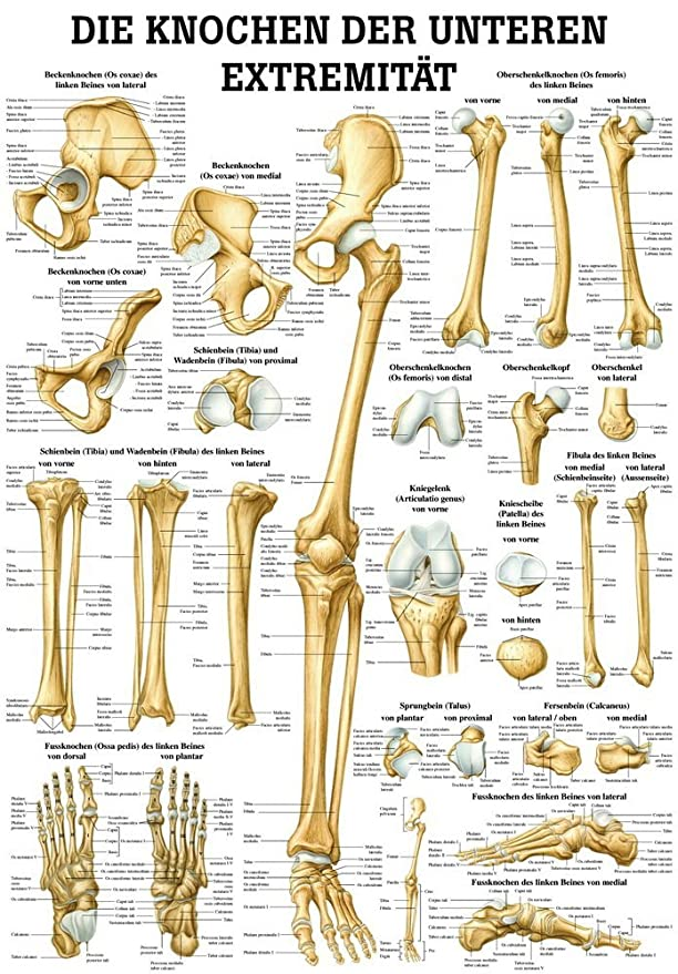 Mini Poster The Bones Of The Lower Extremität Anatomy 34x24 cm Med ...