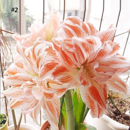Ncient 50 Semillas de Hippeastrum Rutilum Semillas para Huertos Semillas Flores Raras Plantas Bonsai para Jardín Balcon Interior y Exteriores, 9 Colores: Amazon.es: Jardín