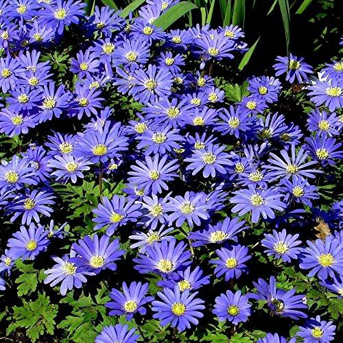 Anemone blanda Blue Shades - 20 flower (Anemone Blanda Bulbs)