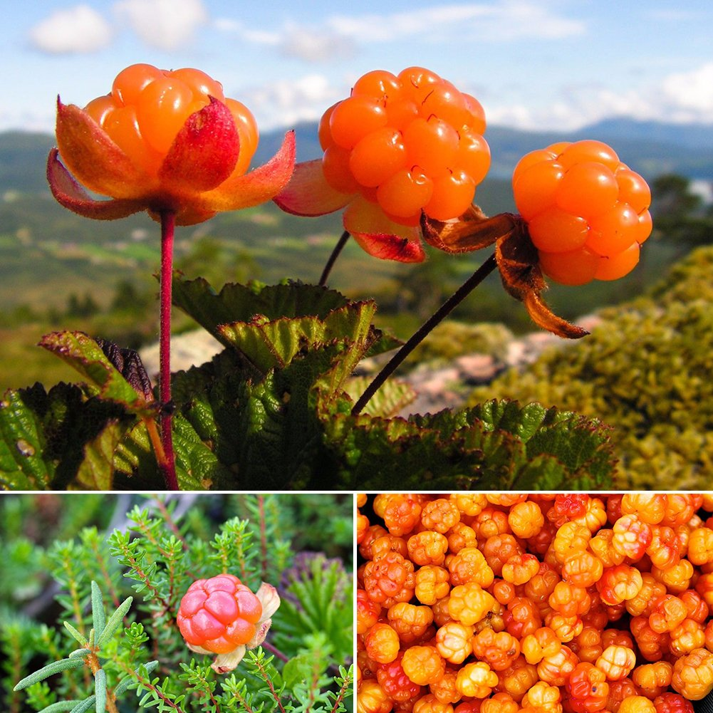Cloudberry Seeds Rubus Chamaemorus Edible Arctic Berry Fruit Seeds 10PCS/Bag UxradG