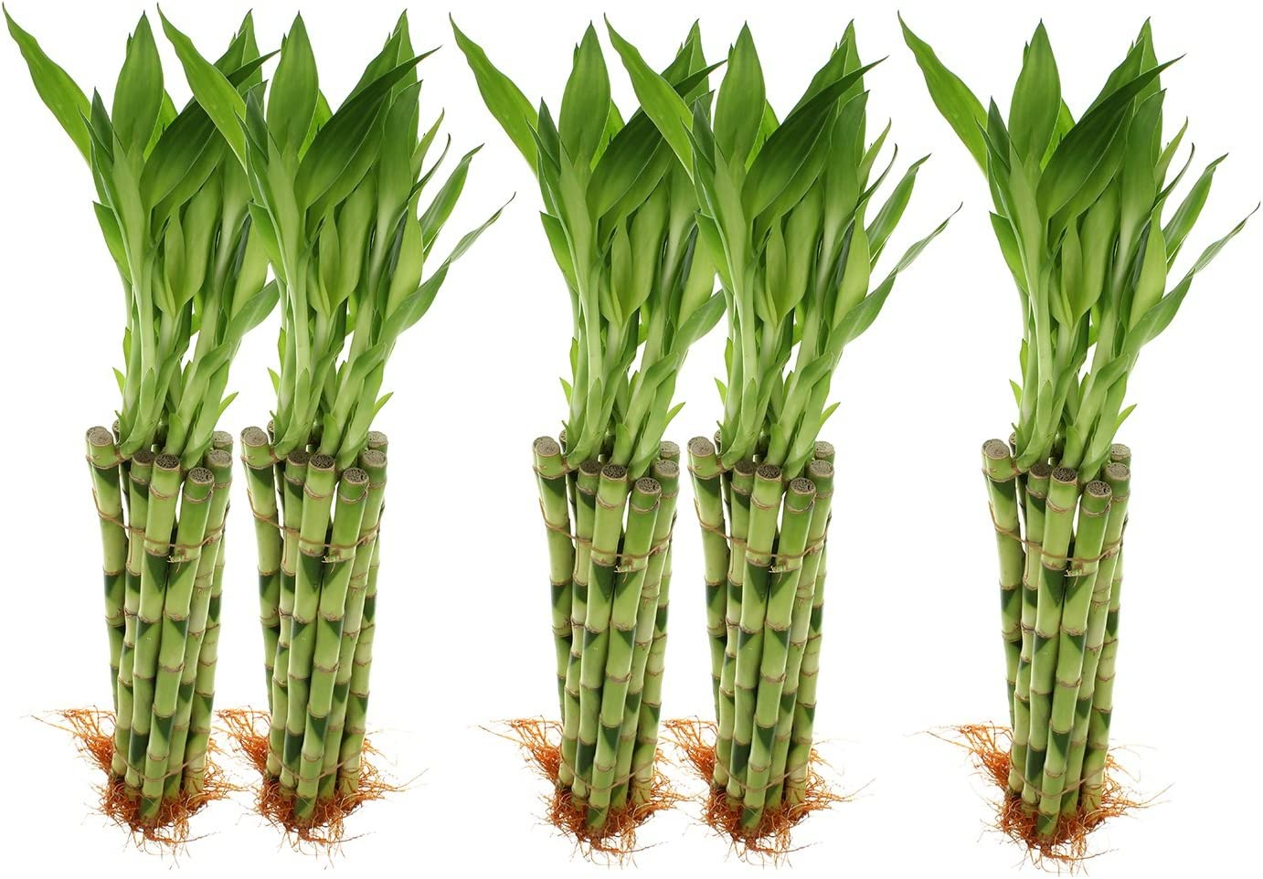 Amazon Com Live Lucky Bamboo 12 Inch Bundle Of 20 Stalks Live