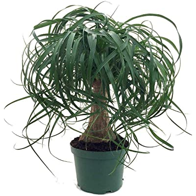 AchmadAnam - Live Plant Guatemalan Red Ponytail Palm Bonsai in Plastic Pot, Small : Garden & Outdoor