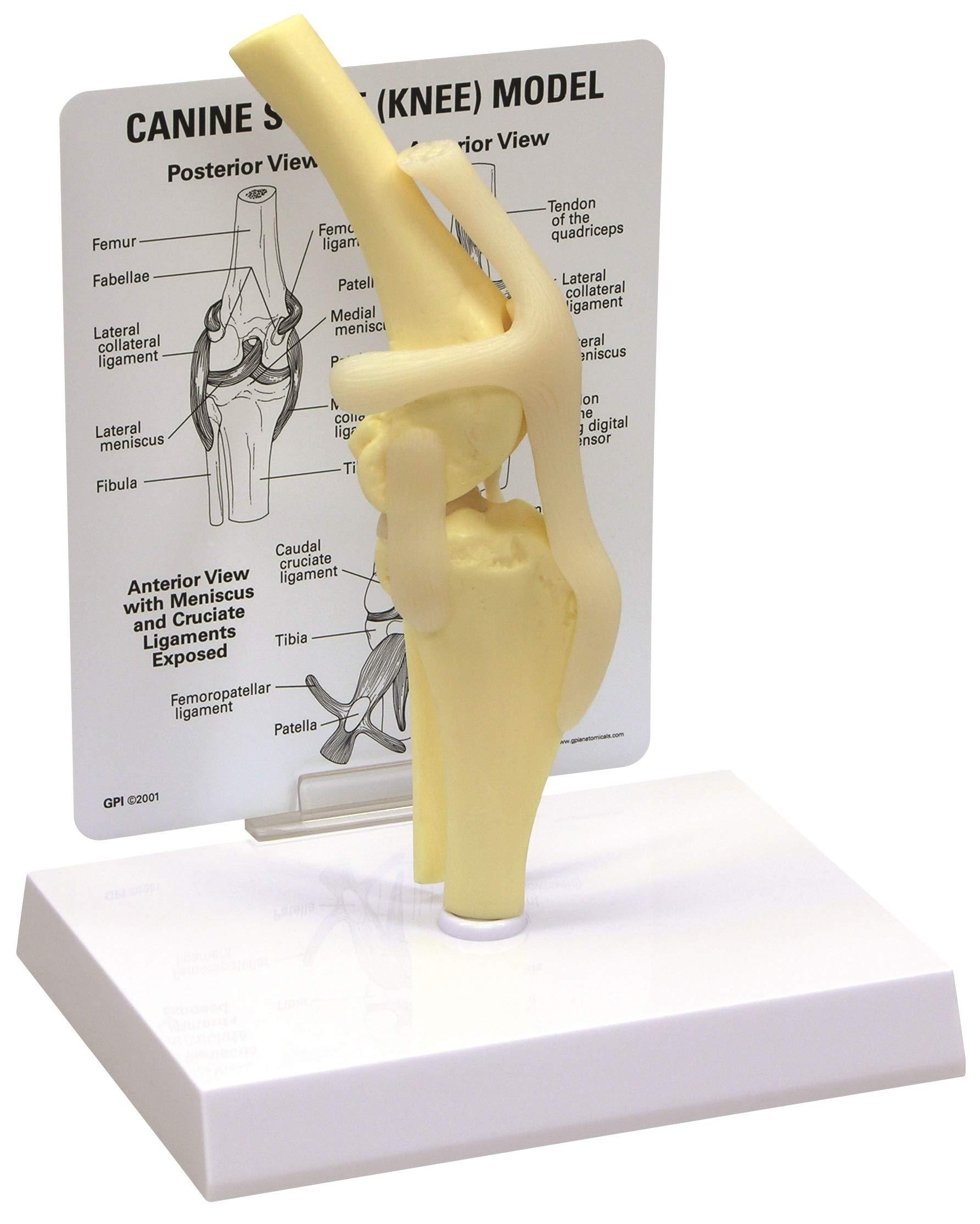 Canine/Dog Knee Joint Anatomy/Anatomical Model #9050