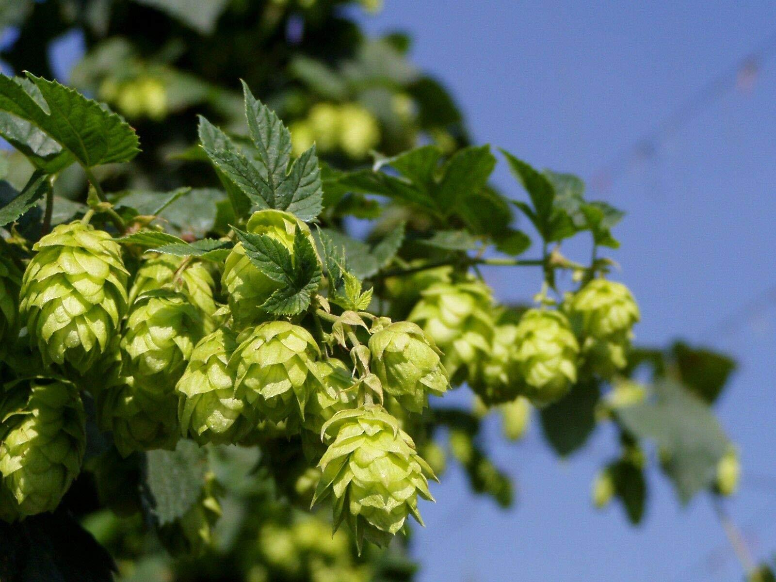 200 Seeds Bulk Hops - Vigorous Climbing Vine - Aroma - Cash Crop - Beer Ingredient
