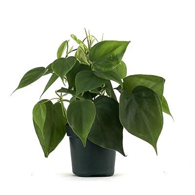 "Philodendron cordatum (4"" Pot) : Garden & Outdoor"