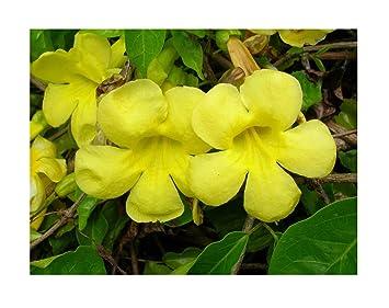Amazon.com: Flores semillas gatos garra Vine macfadyena ...