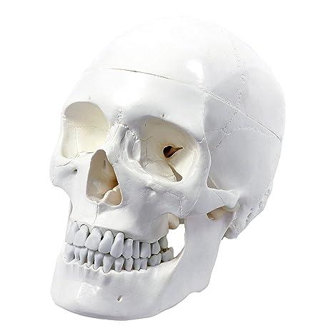 S24.2103 Cráneo humano: Modelo anatómico educativo de 3 piezas ...