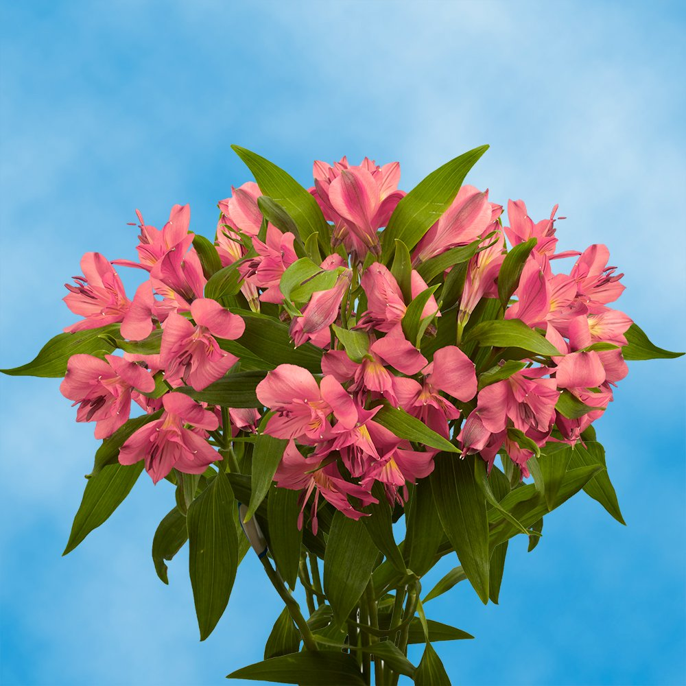 GlobalRose 240 Blooms of Pink Fancy Alstroemerias 60 Stems - Peruvian Lily Fresh Flowers for Delivery
