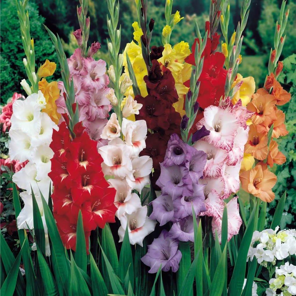 Amazon.com : Mixed Gladiolus Flower Bulbs - 10 Bulbs Assorted Colors ...