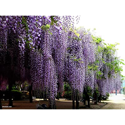 Blue Chinese Wisteria, Wisteria sinensis, Vine Seeds (Fast, Showy, Fragrant) 16 Seeds : Garden & Outdoor