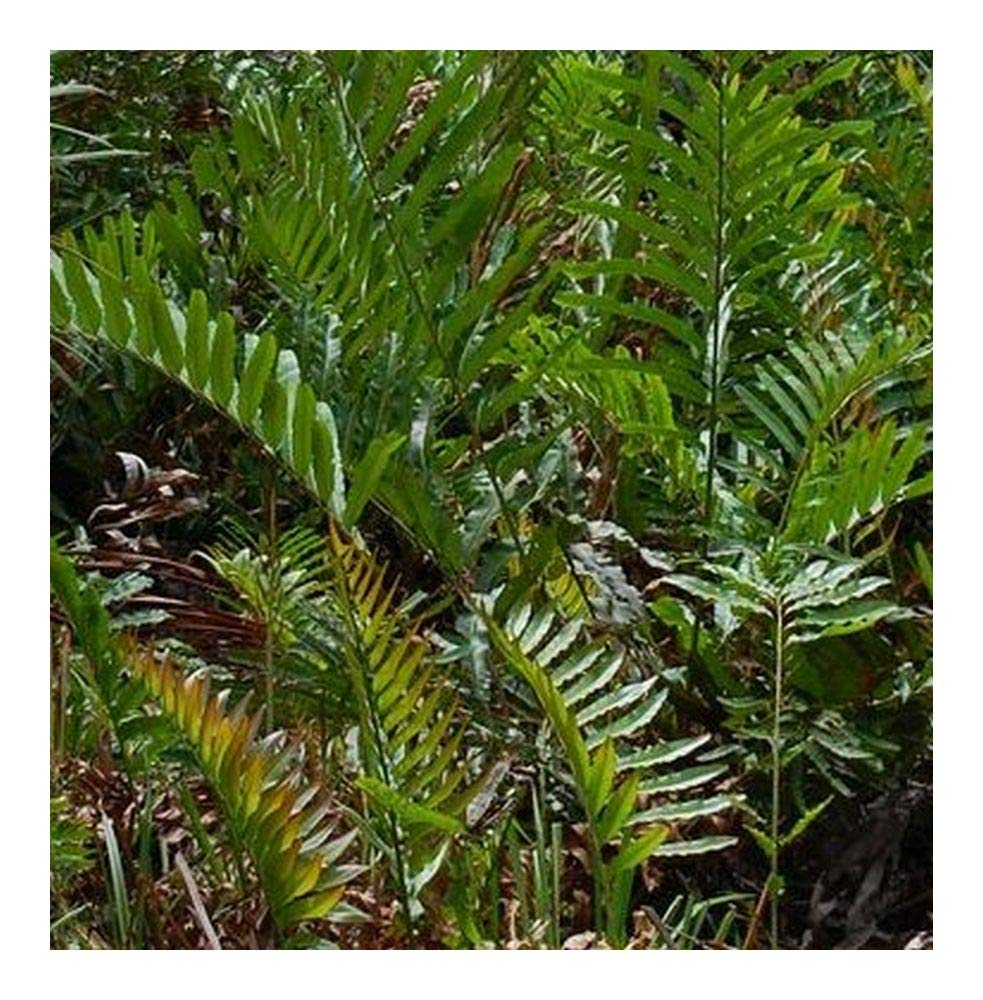 Acrostichum aureum - Golden Leather Fern - Mangrove Fern - 10 Seeds Exotic Plants