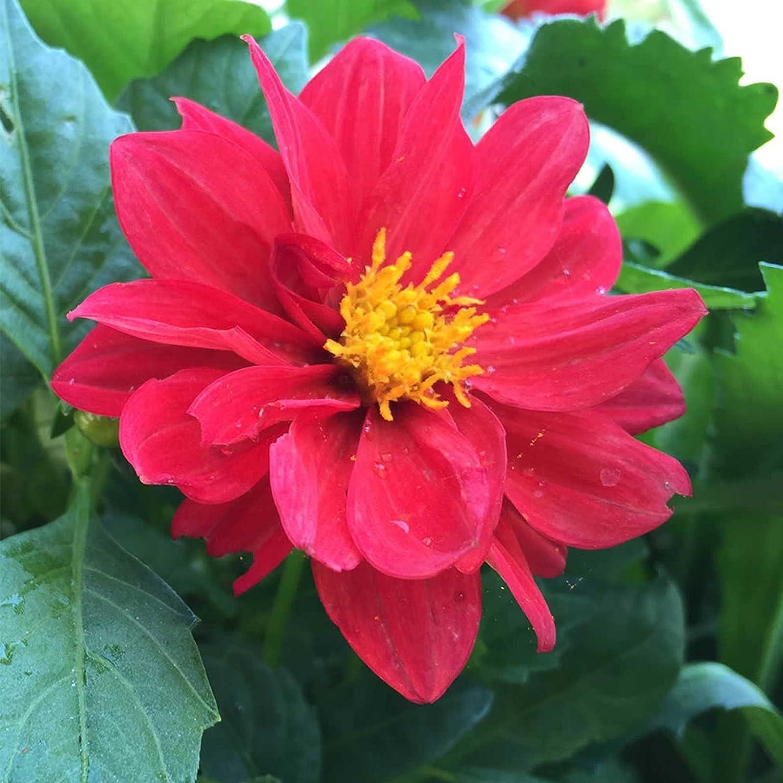 Amazon Figaro Series Dahlia Flower Seed Yellow Shades 500