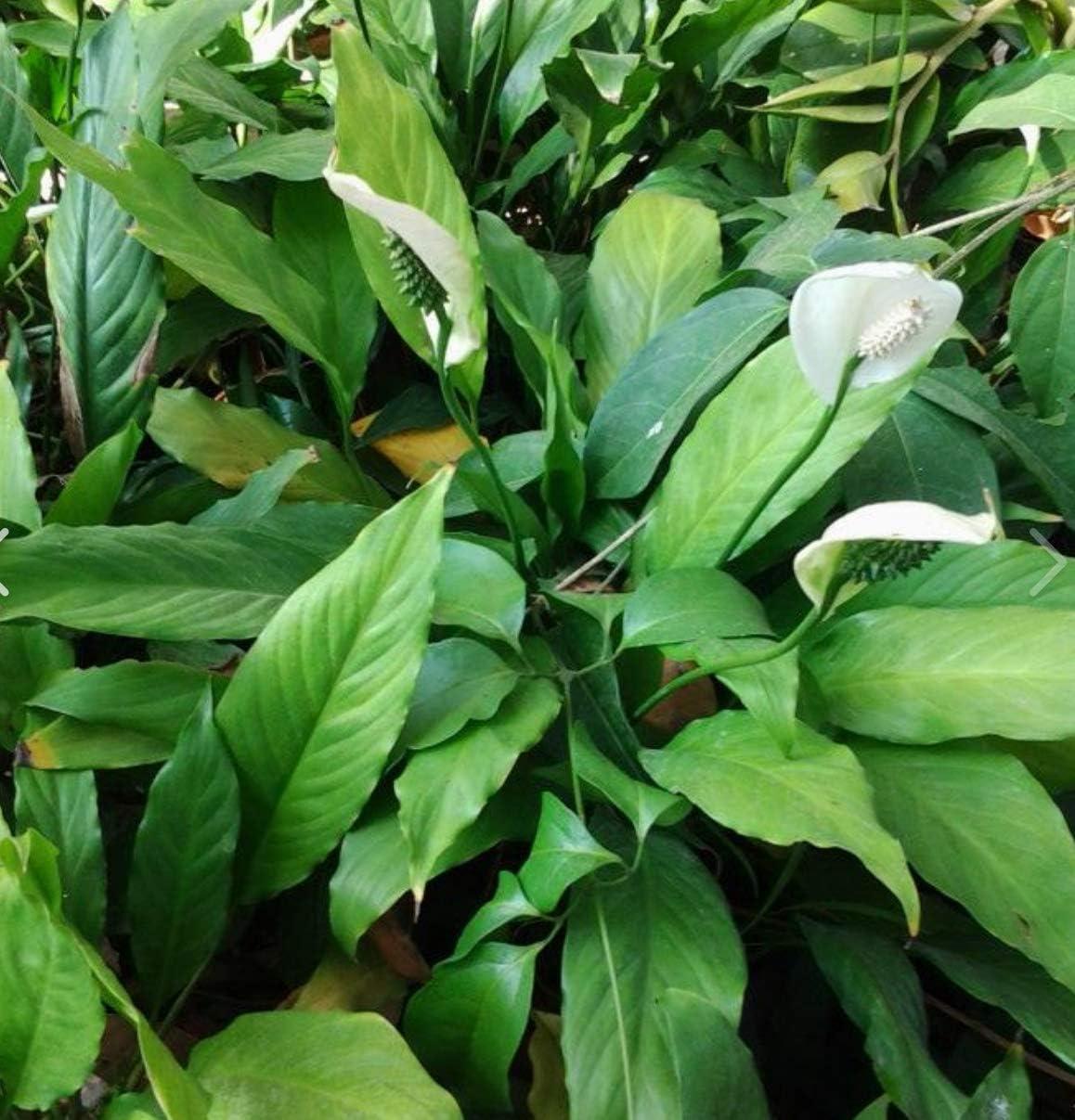 Greenpro Spathiphyllum Wallisii 3-Pack Peace Lily Live Semi-Aquatic Plants for Terrarium Paludarium Easy Setup