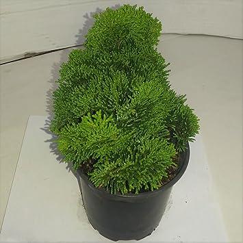 Chamaecyparis obtusa Muschelzypresse Nana Gracilis 20-25cm