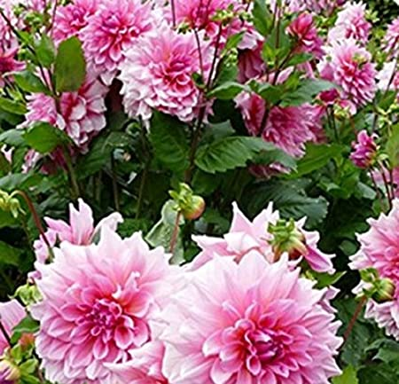 Amazon Com Seeds Market Rare Pink Red Dahlia Flower Seeds 50
