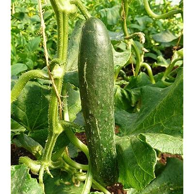 15 Sweet Success Hybrid Burpless Cucumber Seeds - Great for Slicing!! : Garden & Outdoor