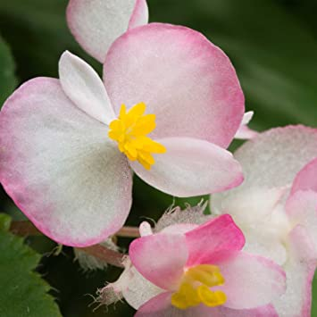 Amazon Com Fibrous Begonia Cocktail Series Plant Seeds Pelleted