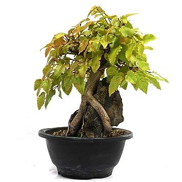 Carpe coreano en piedra, Carpinus coreana, bonsái para exterior, 19 años, altura