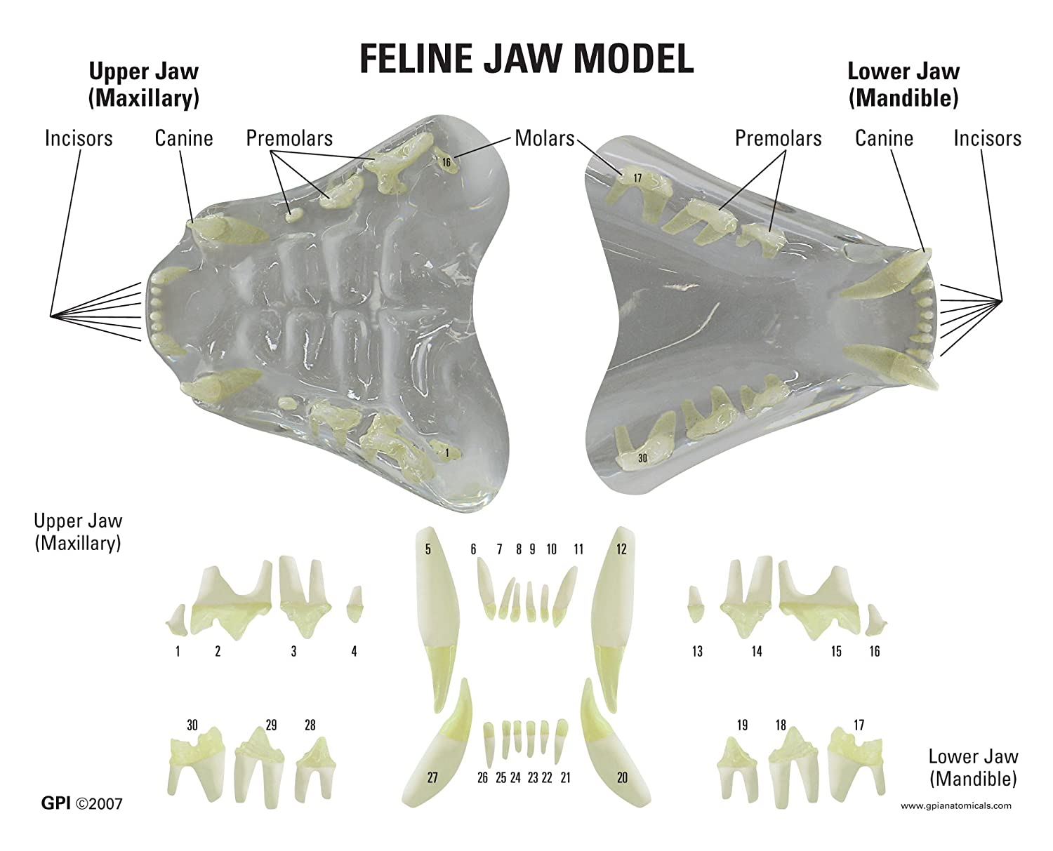 Feline Jaw and Teeth CLEAR Anatomical Model: Human Anatomical Models ...