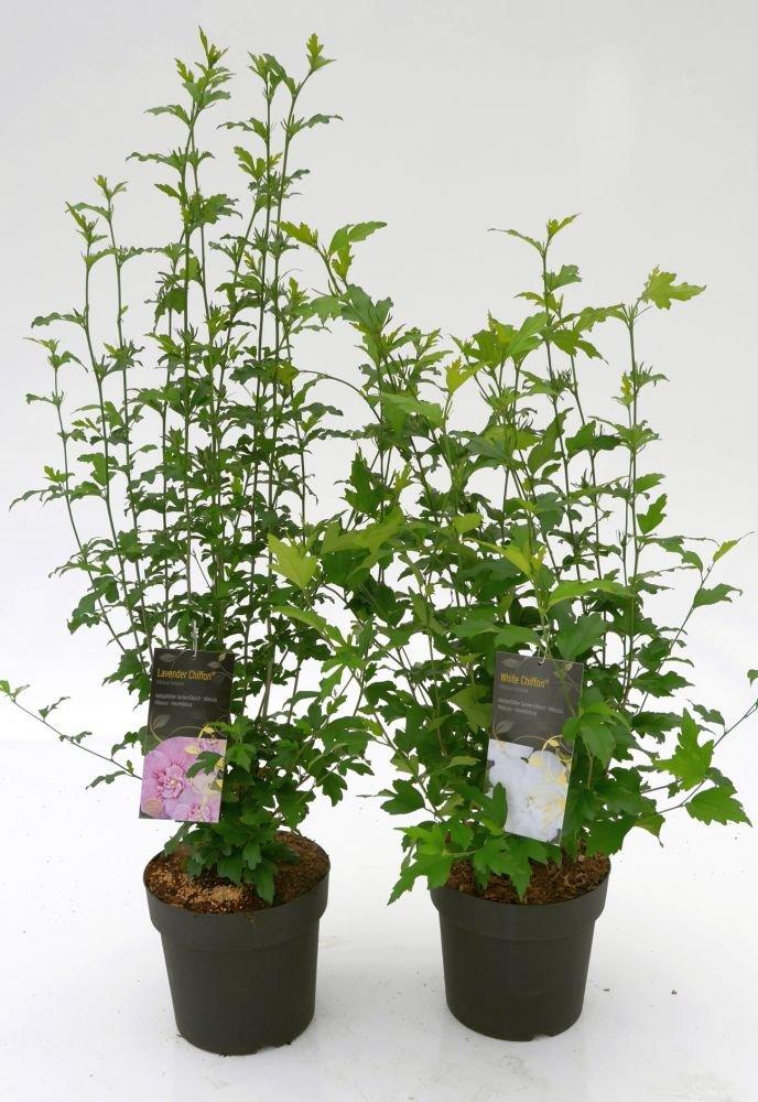 Halbgefüllter Garten-Eibisch Hibiskus `China Chiffon´®