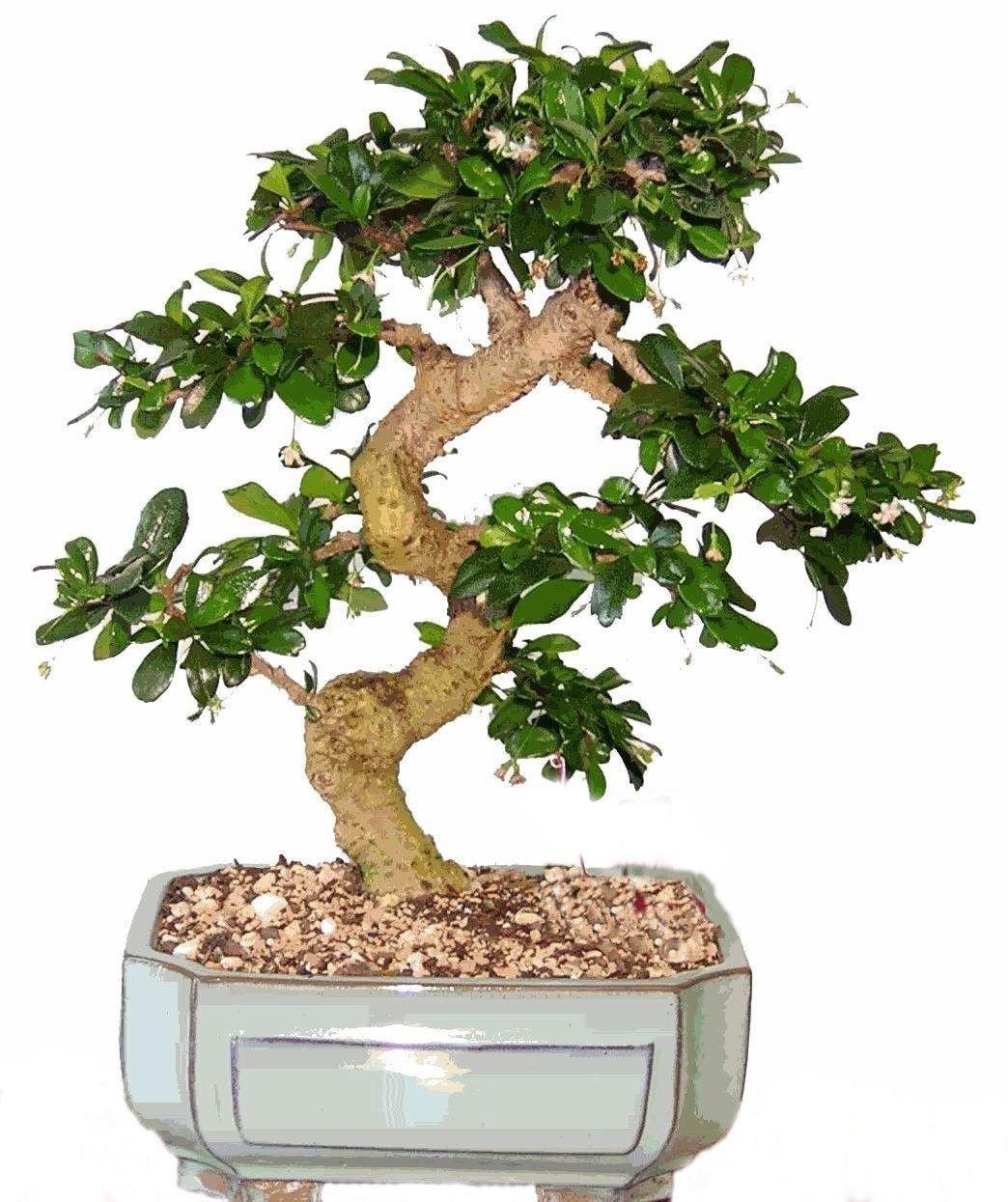 Bonsai Tree LARGE Fukien Tea GREAT