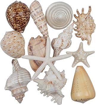 """Seashells Aquarium Craft Mixed Natural Beach Lot Colors Sizes up to 2/"""""""