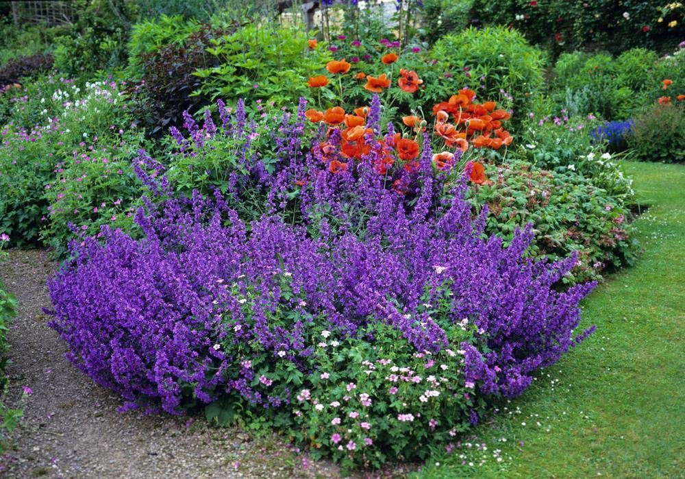 The Ultimate Guide To Growing Catmint (Nepeta): Pick The Best And Enjoy The Show ...
