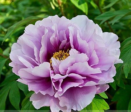 Amazon Com Pivoine Japanese Peony Flower Seeds 1 Professional
