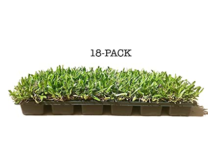 St  Augustine 'Seville' Sod Plugs - 18 Count Tray - Drought, Salt & Shade  Tolerant Turf Grass